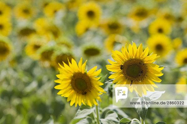 Italien  Toskana  Sonnenblumen  Nahaufnahme