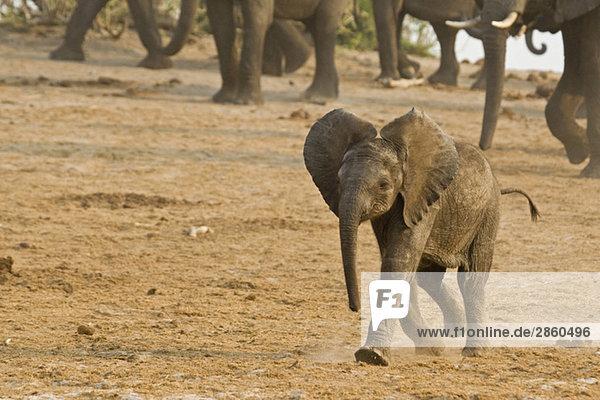Africa  Botswana  Elephant calf (Loxodonta africana)  herd in background