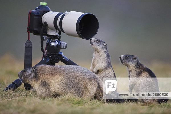 Österreich  Murmeltiere (Marmota marmota) neben der Kamera