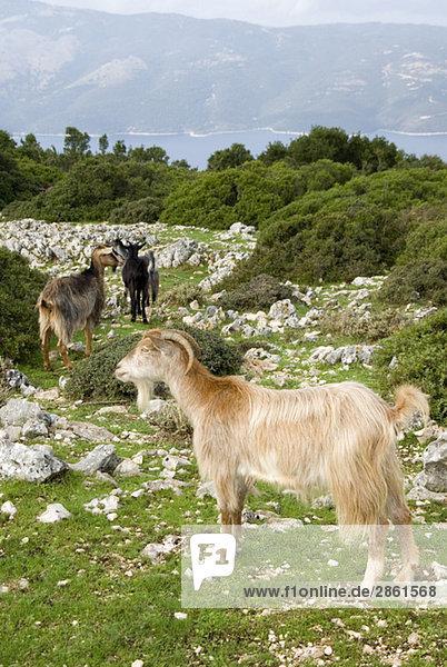 Griechenland  Ithaka  Ziegen
