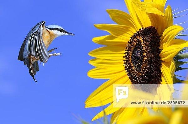 Spechtmeise fliegt auf eine Sonnenblume  Seitenansicht