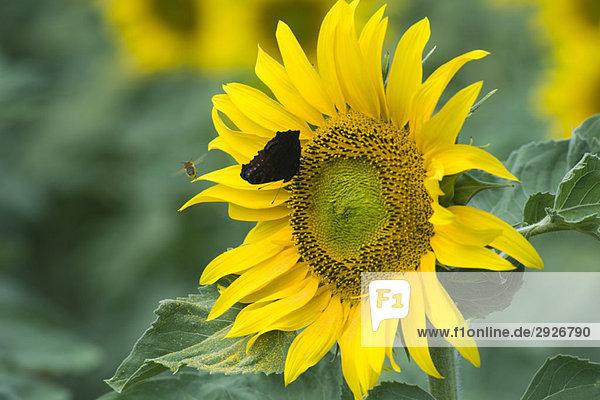 Schmetterling auf Sonnenblume,  Biene fliegt in der Nähe