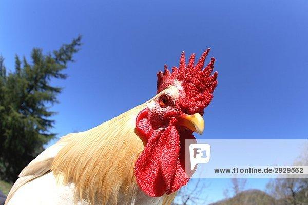 Nahaufnahme-Huhn