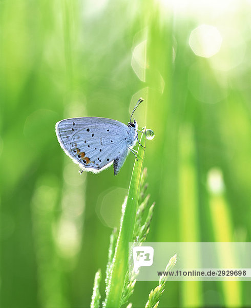Kurze tailed blau