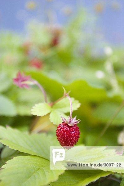 Wilde Erdbeeren wachsen im freien