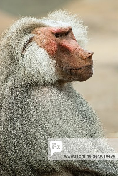 Ernst blickender Affe  Frankfurter Zoo  Deutschland  Seitenansicht