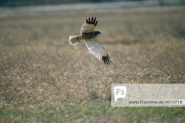Marsh Harrier län.