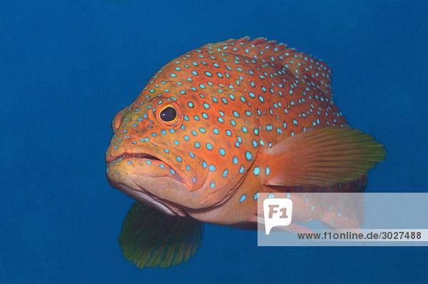 Ägypten  Rotes Meer  Korallenbarsch (Cephalopolis miniata)
