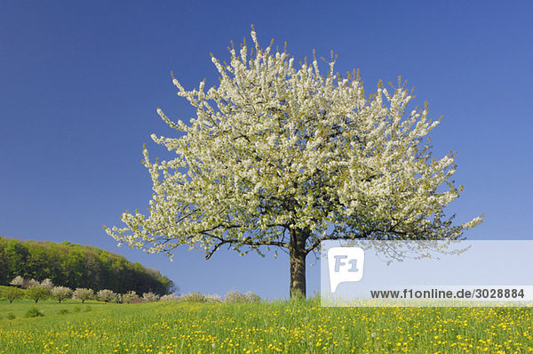 Switzerland  Cherry blossom in field