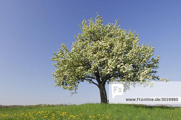 Germany  Bavaria  Pear tree in spring time