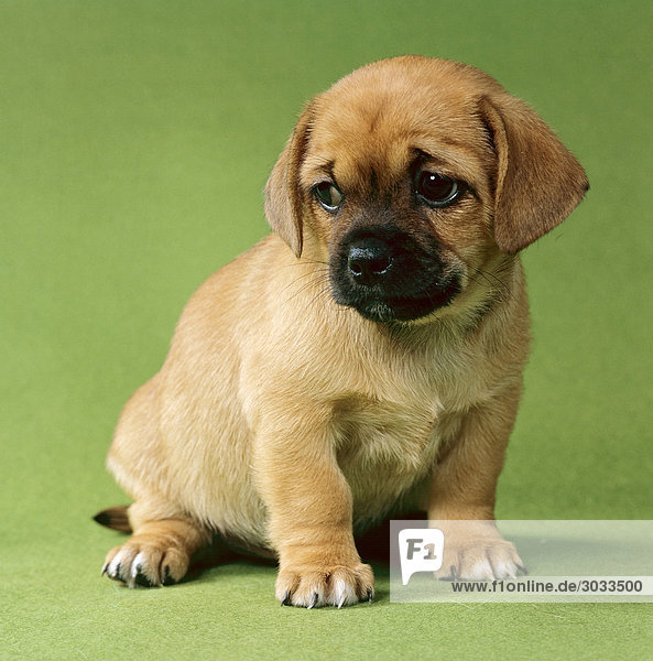 half breed dog (Pekingese/Chihuahua) - puppy - cut out . Royalty Free
