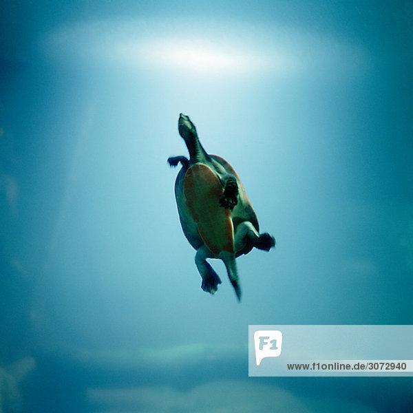 Vereinigte Staaten von Amerika USA Landschildkröte Schildkröte