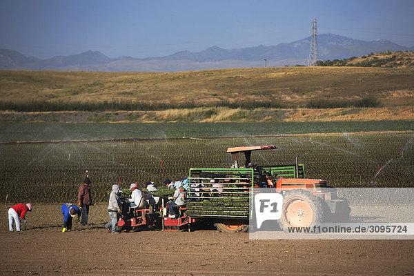 Landwirte arbeiten in einem Feld  Kalifornien  USA