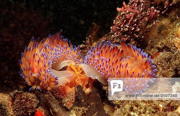 Mating nudibranches (Godiva quadricolor)  Tsitsikamma National Park  Republic of South Africa  underwater shot