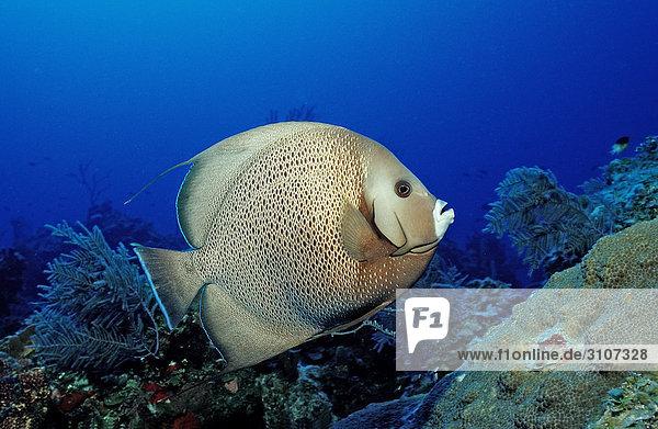 Gray Angelfish (Pomacanthus arcuatus) on coral reef  British Virgin Islands  Caribbean Sea  side view