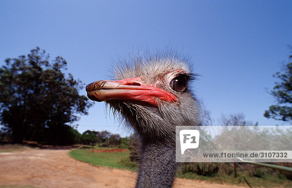 Head of a South African Ostrich (Struthio camelus australis)  Addo Elephant National Park  South Africa  close-up