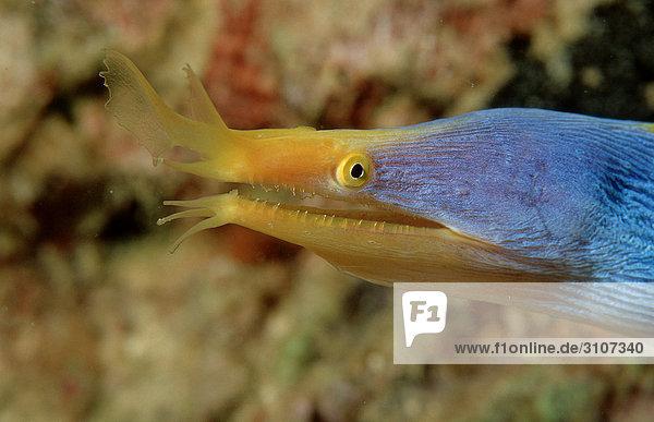 Ribbon Eel (Rhinomuraena quaesita)  Mabul  Malaysia  Pacific Ocean  close-up