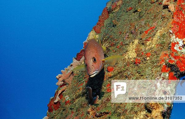 Gray snapper (Lutjanus griseus)  Bonaire  Netherlands Antilles  Caribbean Sea  underwater shot