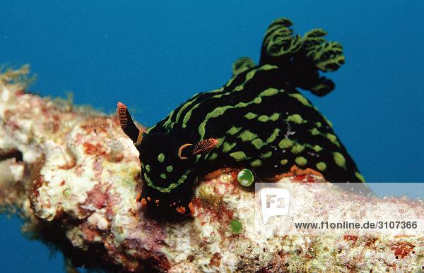 Sea slug (Nembrotha kubaryana) on coral  Panglao Island  Mindanao Sea  Philippines  underwater shot