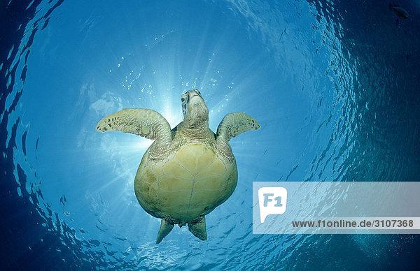Green Turtle (Chelonia mydas) swimming close to water surface  Sipadan  Malaysia  view from below