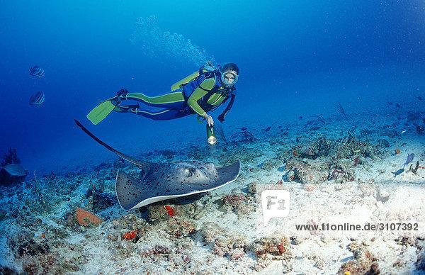 Black-spotted Stingray (Taeniura meyeni) and scuba diver  Ari Atoll  Maldives  Indian Ocean