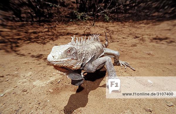 Green Leguan (Iguana iguana)  Washington Slagbaai National Park  Bonaire  Netherlands Antilles