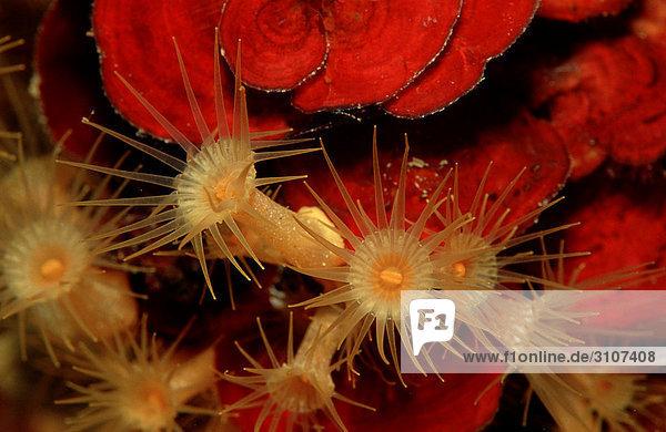 Gelbe Krustenanemone (Parazoanthus axinellae) Istrien  Kroatien  Mittelmeer  Close-up