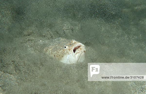 Marbled Stargazer hiding on seabed (Uranoscopus bicinctus)  Komodo National Park  Indonesia  underwater shot