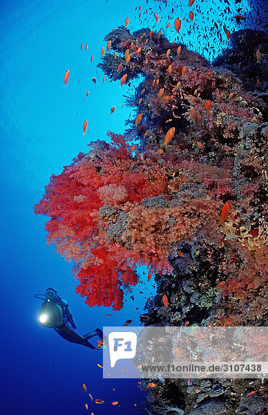 Scuba diver in reef with red soft corals  Rocky Island  Red Sea  Egypt