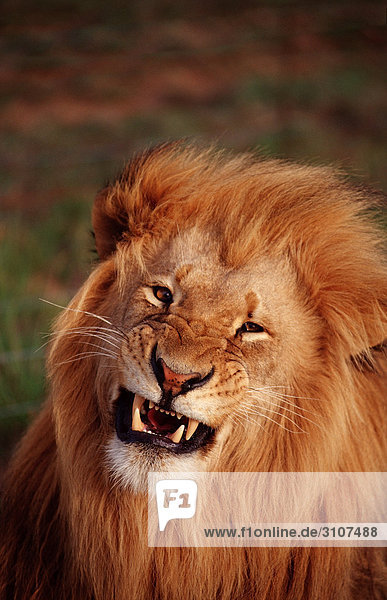 Potrait of a snarling lion (Panthera leo)  Kruger National Park  Republic of South Africa  front view