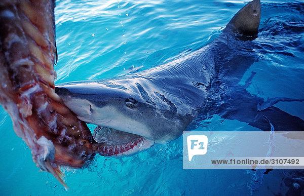 Lemon Shark (Negaprion brevirostris) biting in bait above the waters surface  Bahamas  Atlantic Ocean