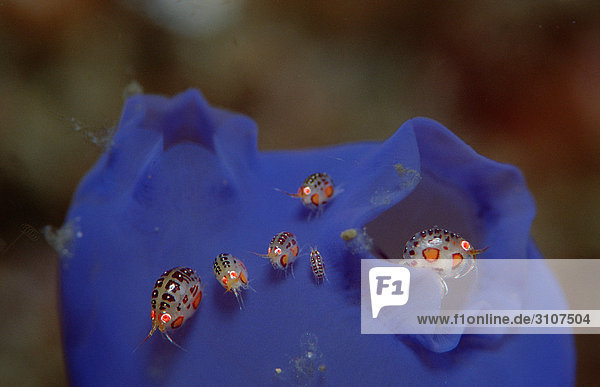 Amphipods on blue sea squirt  Komodo National Park  Indonesia  Indian Ocean  close-up