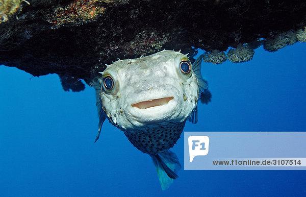 Yellowspotted Burrfish (Cyclichthys spilostylus)  Abu Dahab  Egypt  Red Sea  close-up