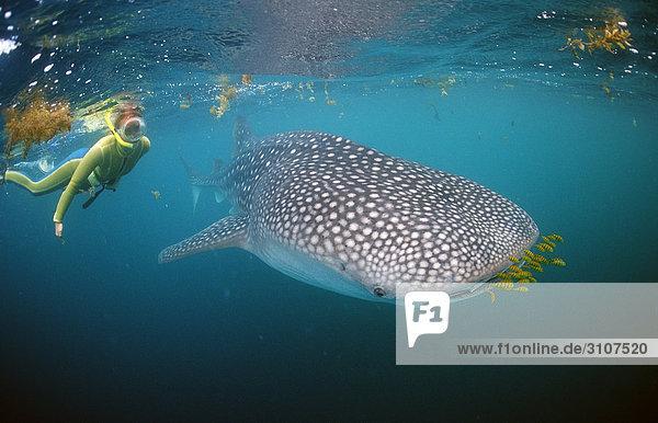 Walhai (Rhincodon thypus) mit Pilotfischen und schnorchelnde Frau  Dschibuti  Afrika  Golf von Aden