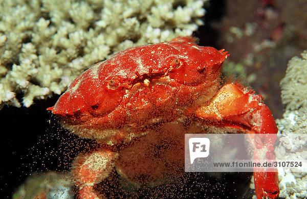 Red crab (Etisus splendidus) releasing eggs  Sudan  Red Sea  front view