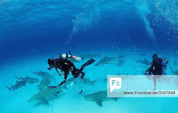 Lemon Sharks (Negaprion brevirostris) and scuba diver close to seabed  Bahamas  Atlantic Ocean  underwater shot
