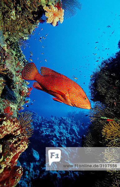 Miniatus Grouper (Cephalopholis miniata) in coral reef  Brother Islands  Egypt  Red Sea  side view