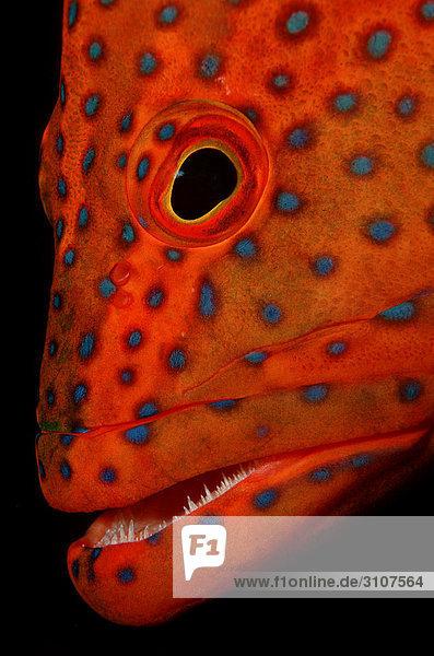 Coral grouper (Cephalopholis miniata)  Ari Atoll  Maldives  Indian Ocean  detail shot