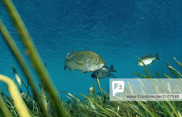 Largemouth basses (Micropterus salmoides)  Rainbow River  Florida  USA  underwater shot