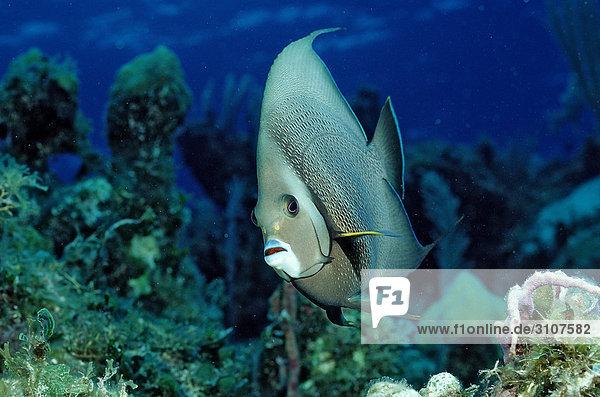 Gray Angelfish (Pomacanthus arcuatus) on coral reef  British Virgin Islands  Caribbean Sea