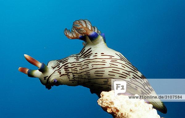Sea slug (Nembrotha lineolata) on coral  Panglao Island  Mindanao Sea  Philippines  close-up