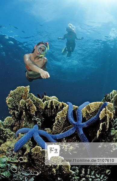 Two snorkeling woman spotting two blue starfishes (Asteroidea) on coral reef  Bali  Indian Ocean  underwater shot