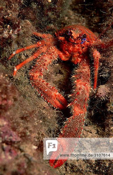 Bunter Springkrebs (Galathea strigosa)  Istrien  Koratien  Mittelmeer  Frontalansicht