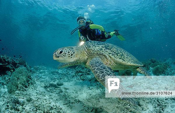 Green Turtle (Chelonia mydas) and scuba diver  Sipadan  Malaysia