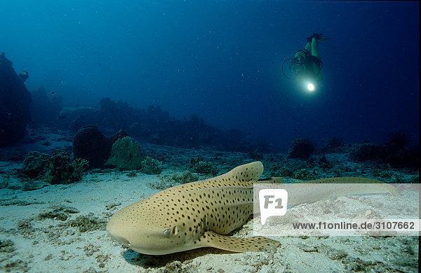 Leopard shark (Stegostaoma varium) and scuba diver  Sipadan  Malaysia