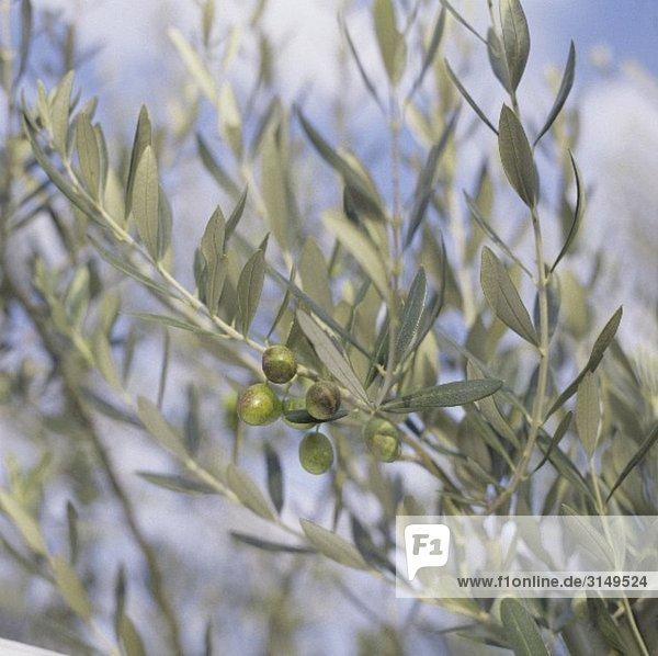 Oliven am Baum