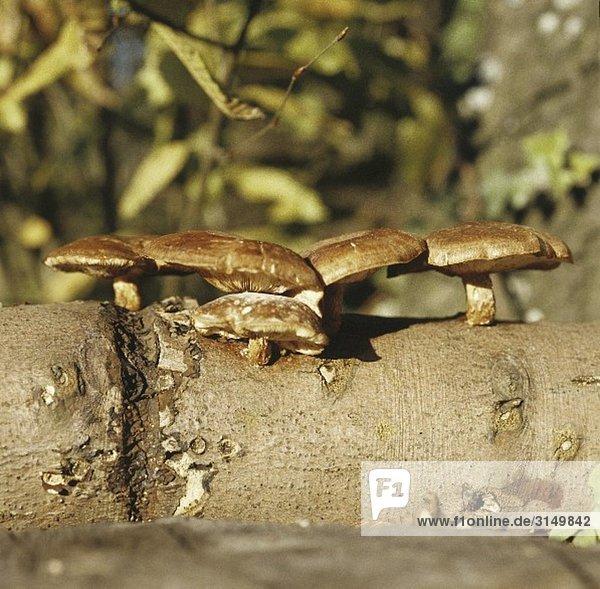 Shiitake-Pilze wachsen an einem Baumstamm