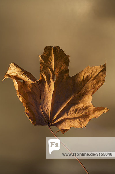 Dried maple leaf