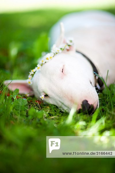 Bullterrier in das Gras Schweden liegen.