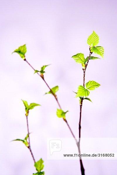Ein Birch Zweig vor einem violetten Hintergrund.